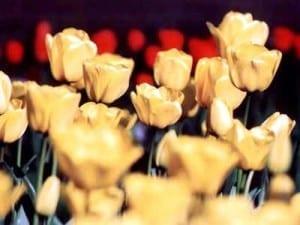 żołte tulipanki