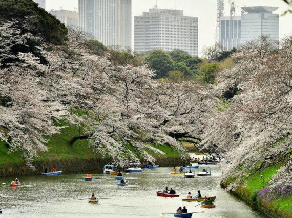 Event Hanami czyli Japońskie święto wiosny